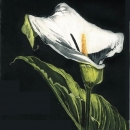 Arum Lily I