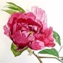 Peony Rose II