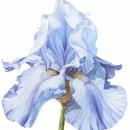 Blue Iris III