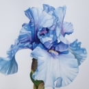 Blue Iris - Nicola Lynch Morrin