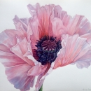 Pink Oriental Poppy