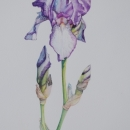 Iris IV