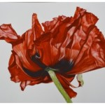 Orietal Poppy